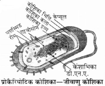 प्रोकैरियोटिक कोशिका ( जीवाणु कोशिका)